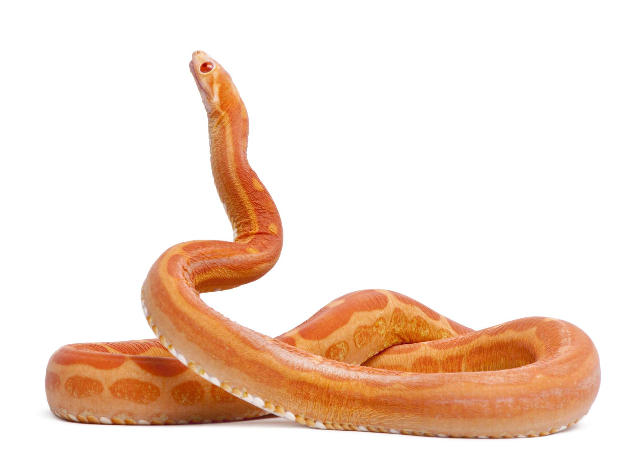 bright orange scaleless corn snake coiled with neck extended against white background