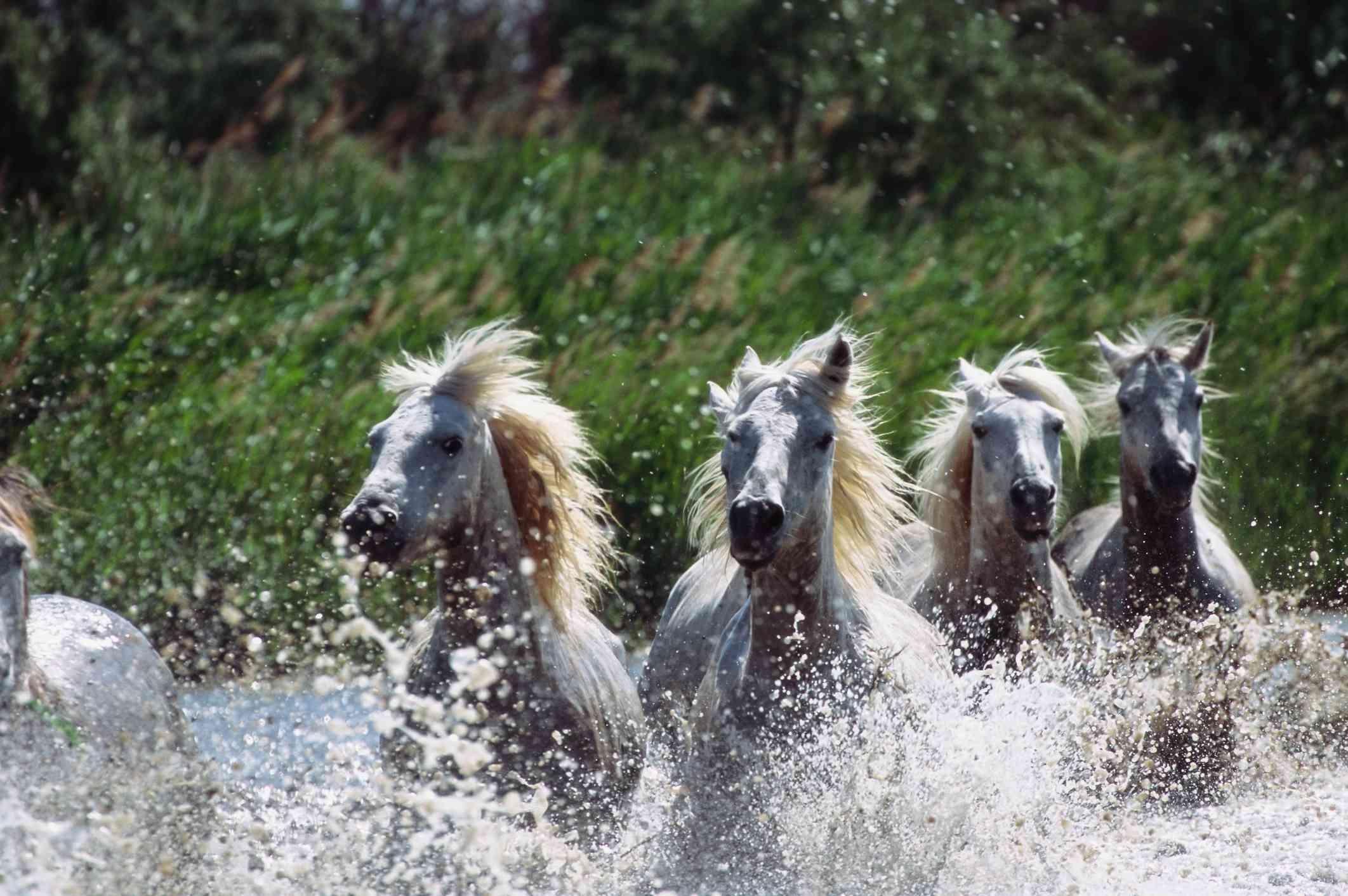 White horses run and splash in water