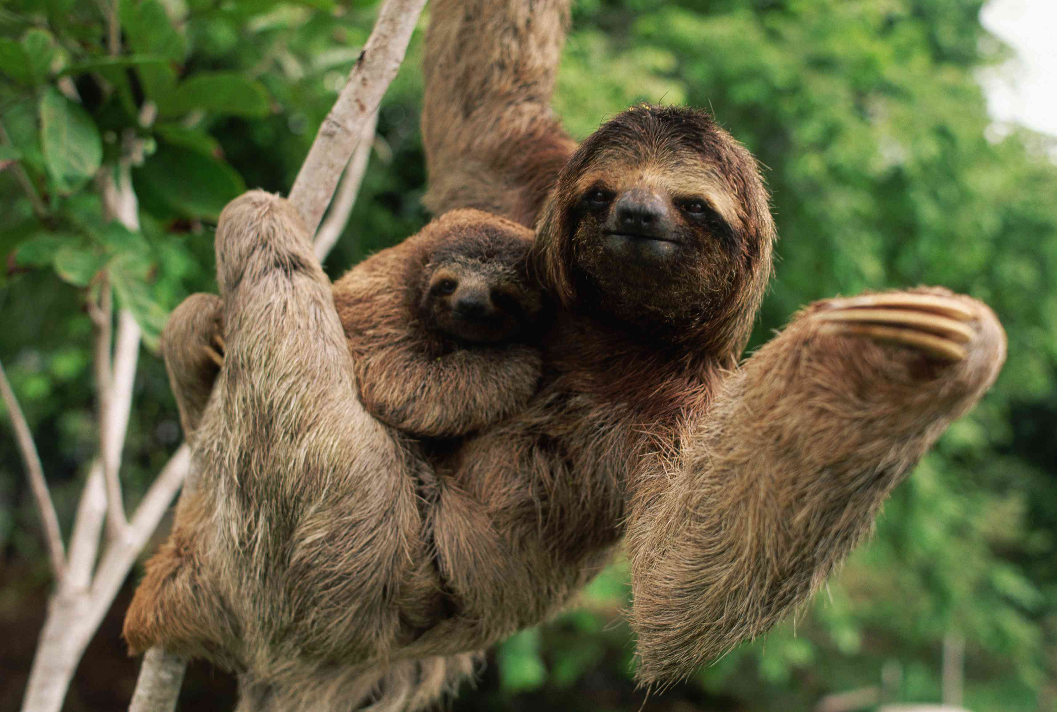 Wild sloths in Corcovado National Park, Costa Rica