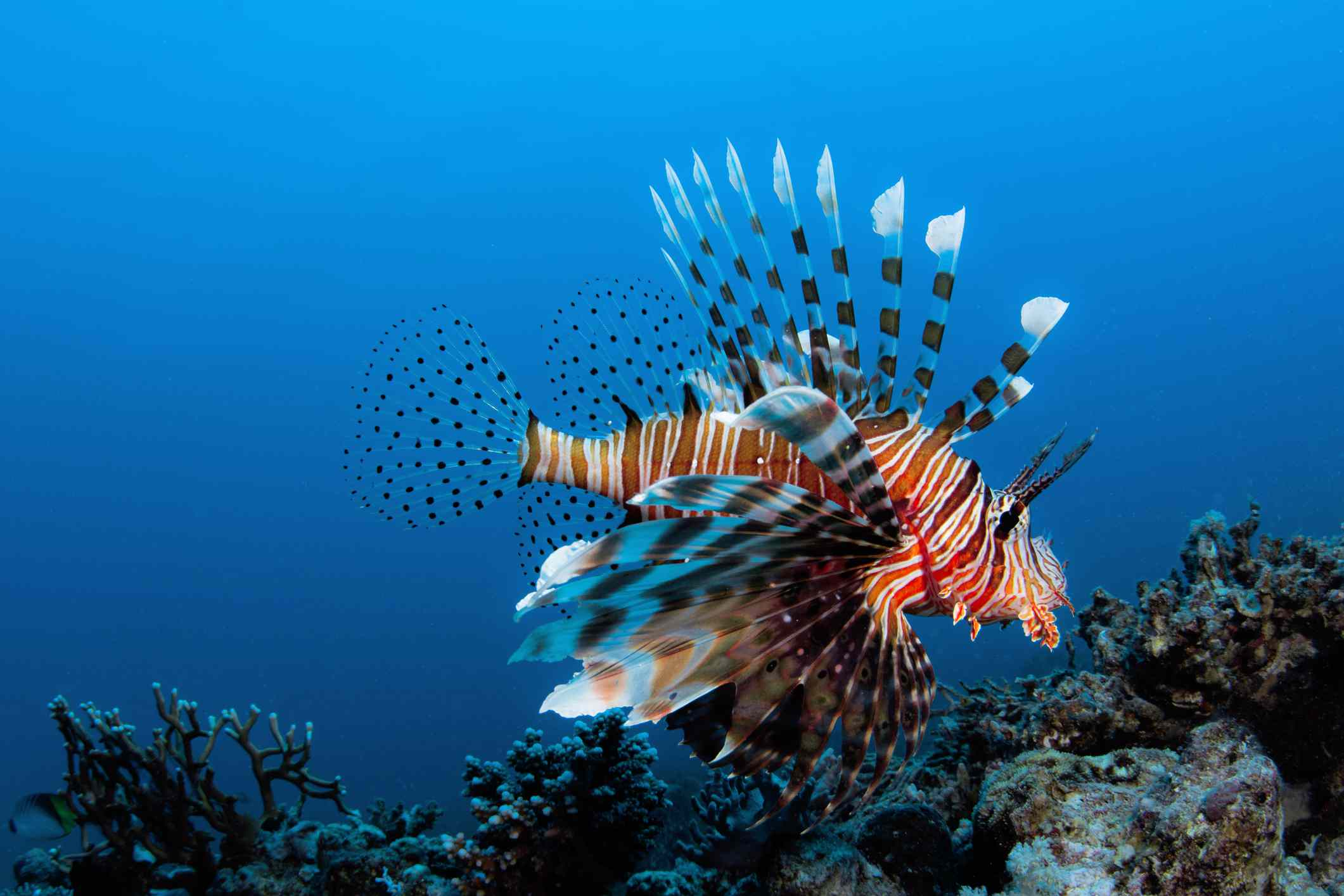 Red lionfish swimming along the reef in a bright blue ocean