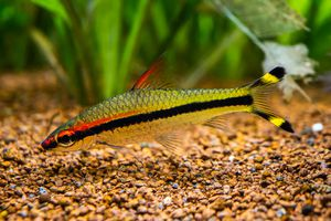 Denison barb (Sahyadria denisonii) isolated on a fish tank with blurred background