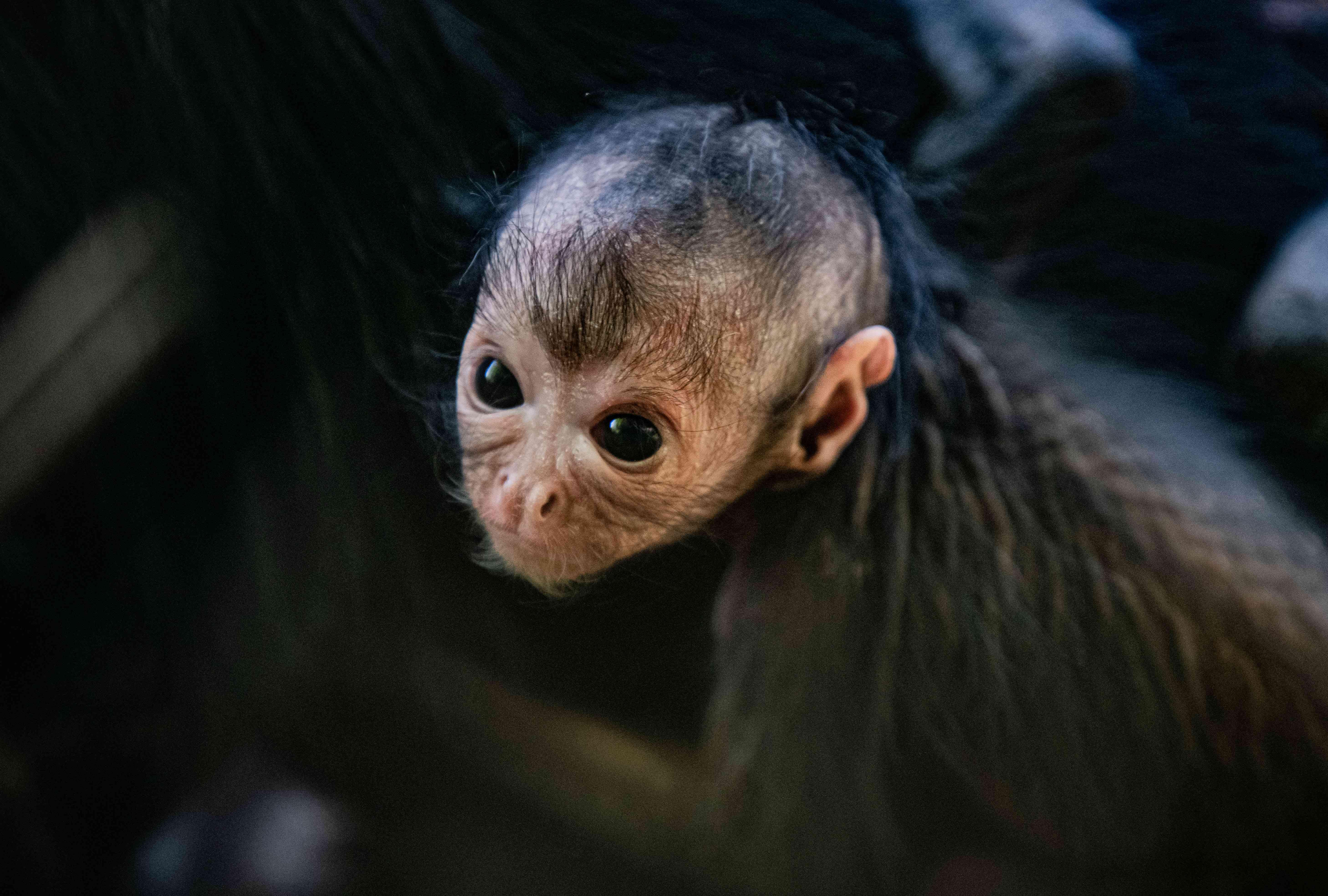 Colombian black-headed spider monkey baby
