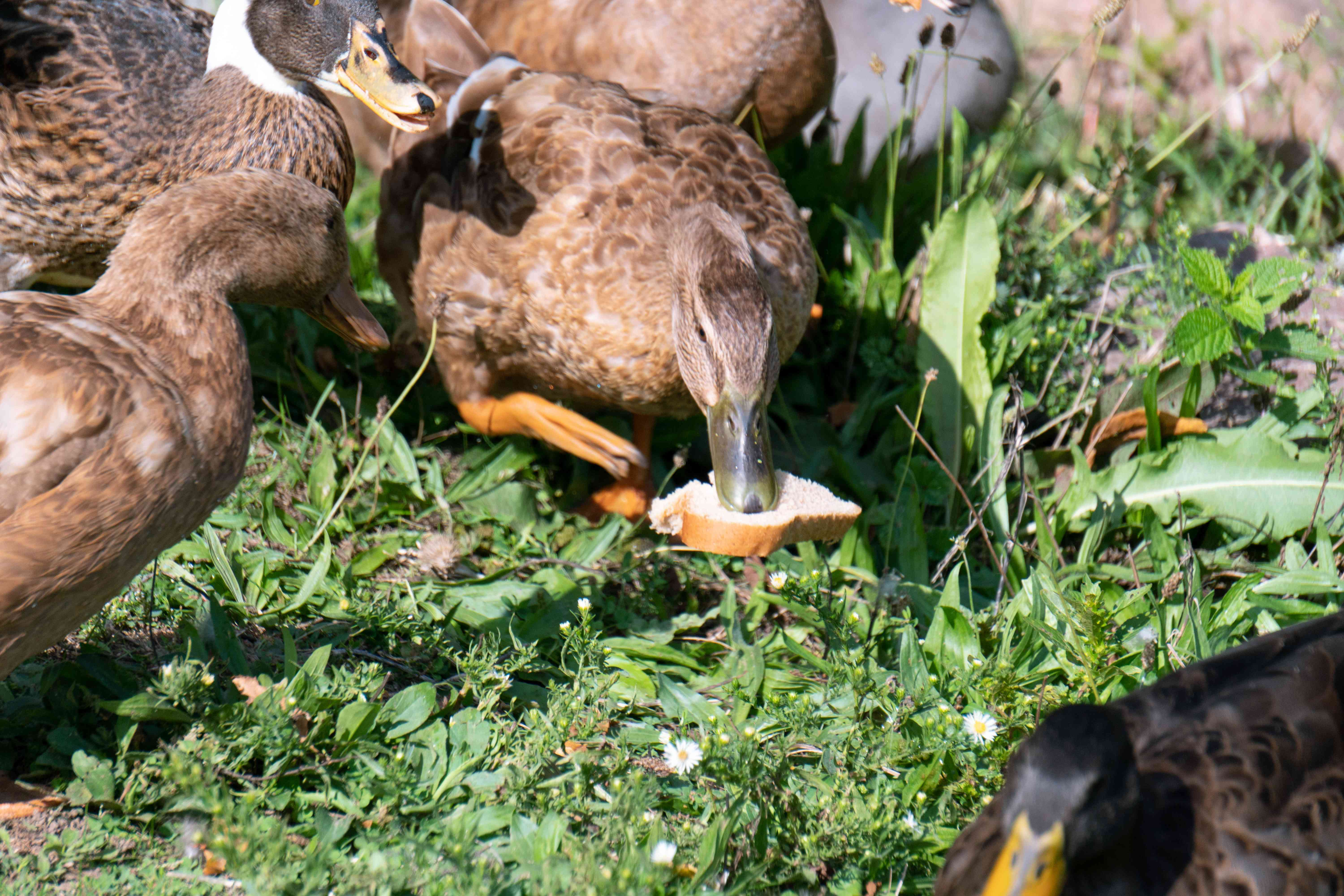 brown female duck lunges for white bread