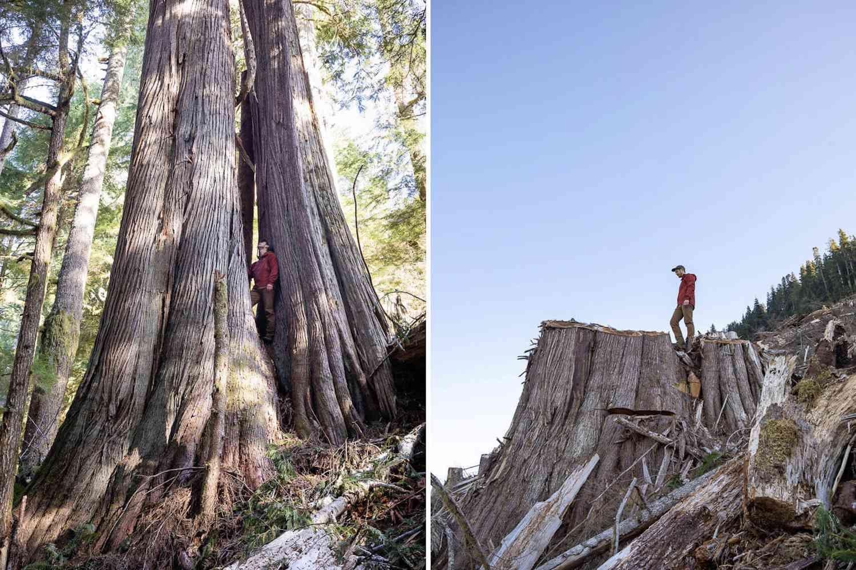 double headed cedar