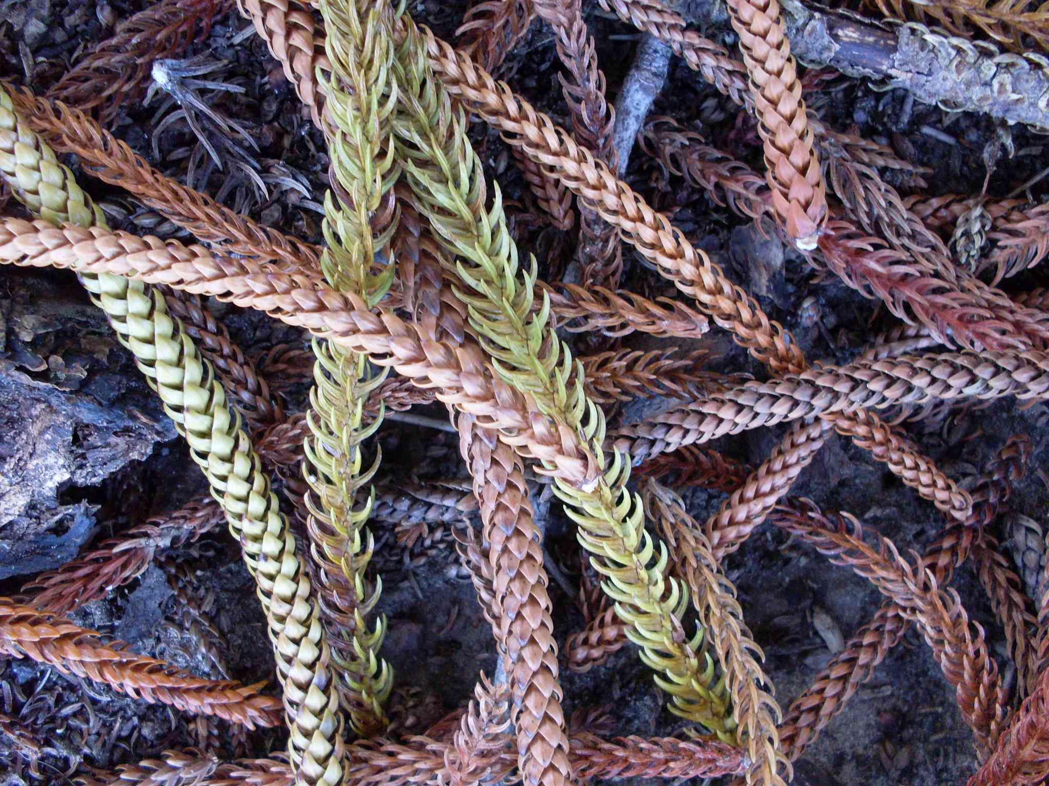 Dead brown Norfolk pine needles on the ground.