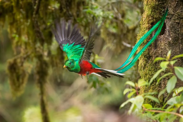 vibrant green and red male resplendent quetzal bird in flight