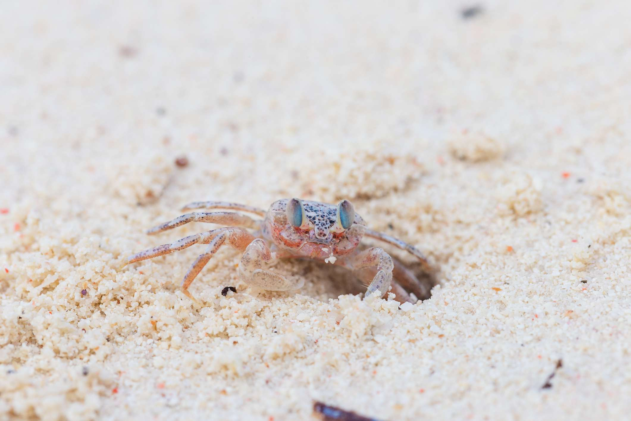 A close-up of a pink ghost crab making a hole in the sand.