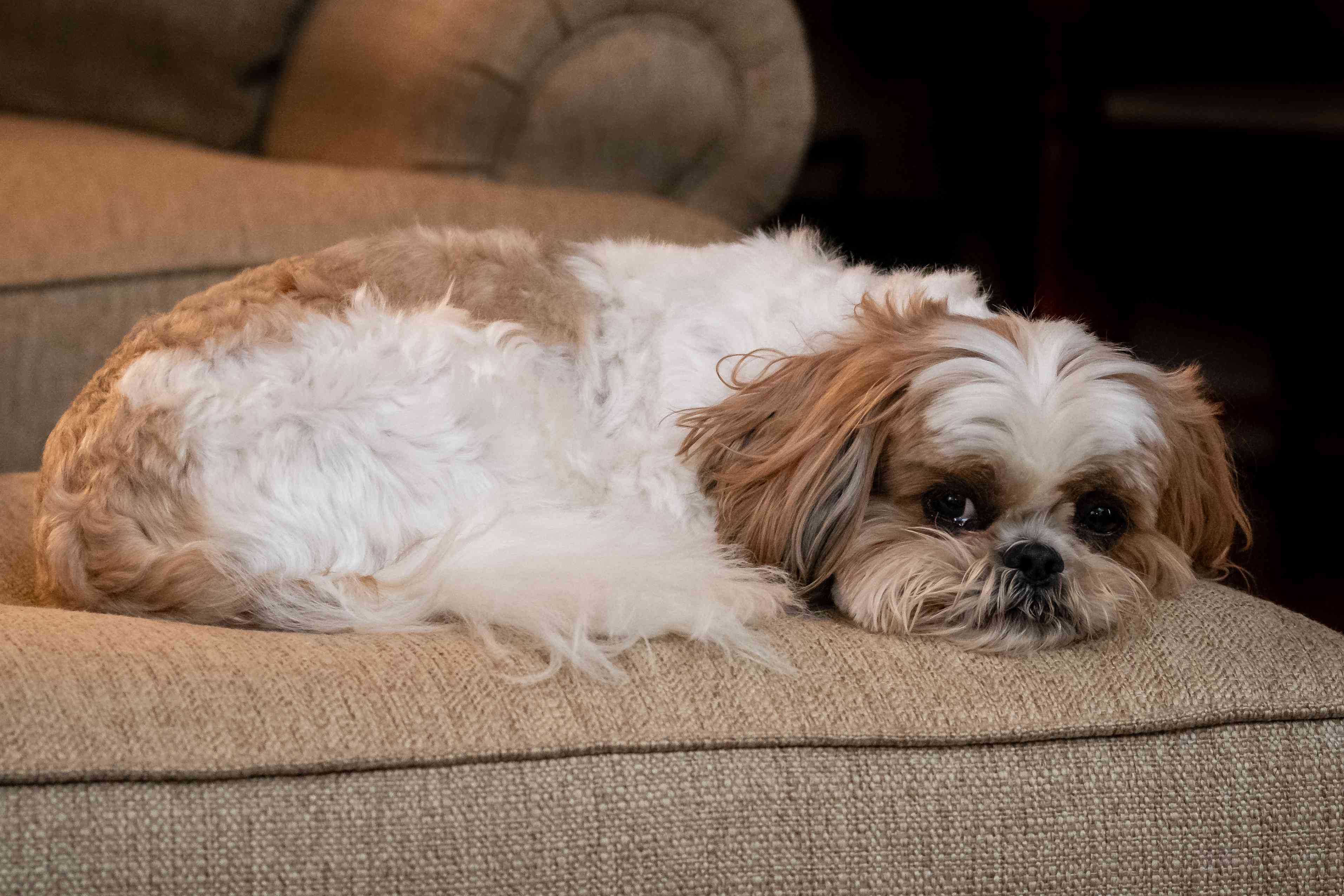 brown and white shih tzu resting on tan ottoman looking forward