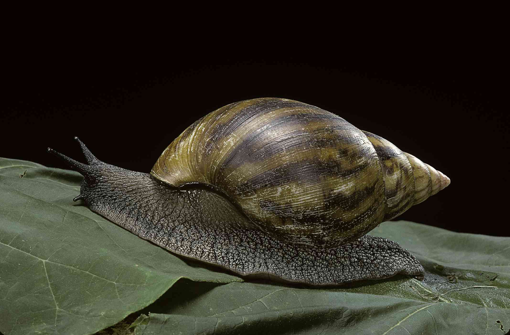 Giant African snail on a bed of leaves