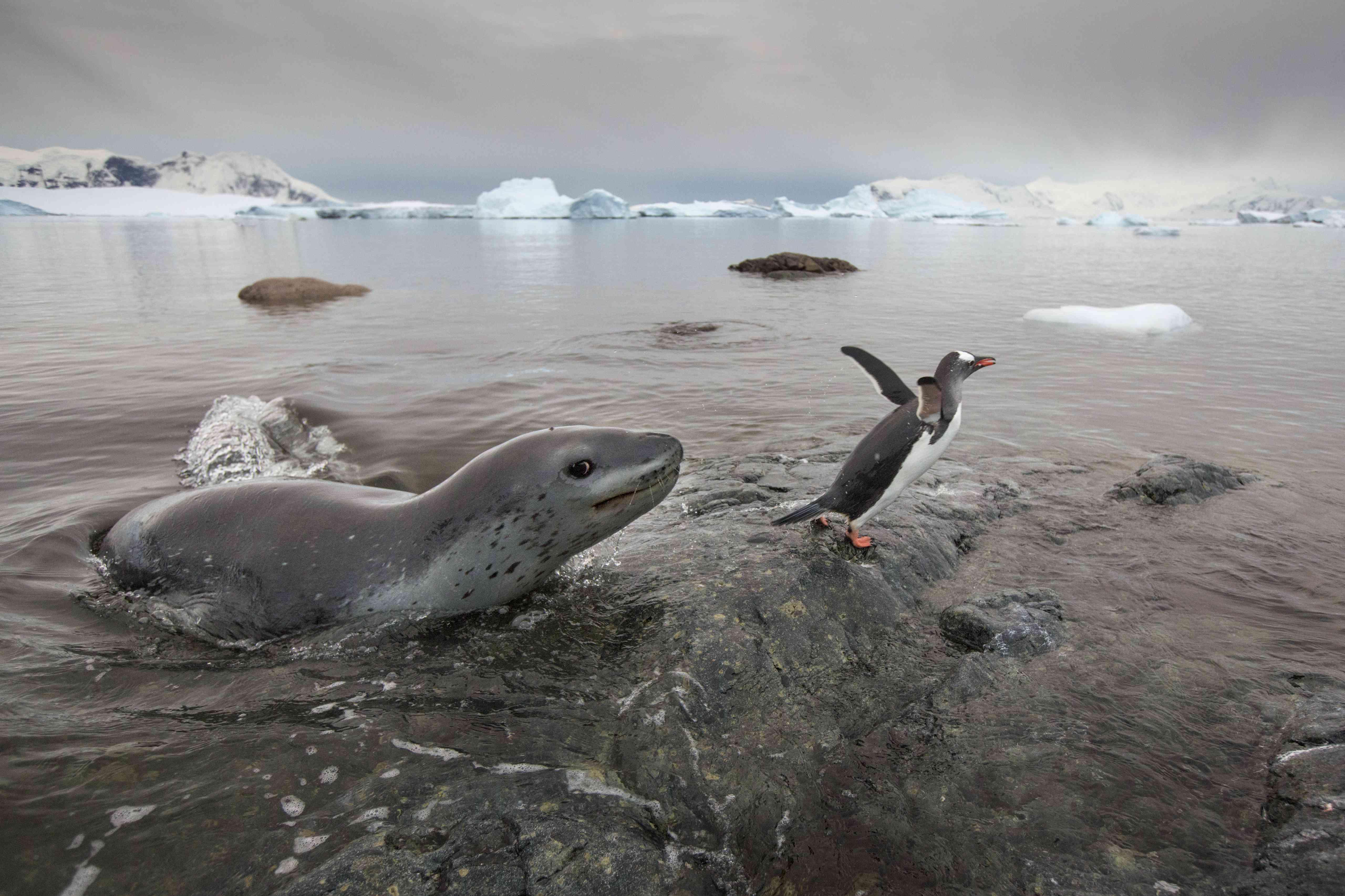 A leopard seal near a penguin in Antarctica