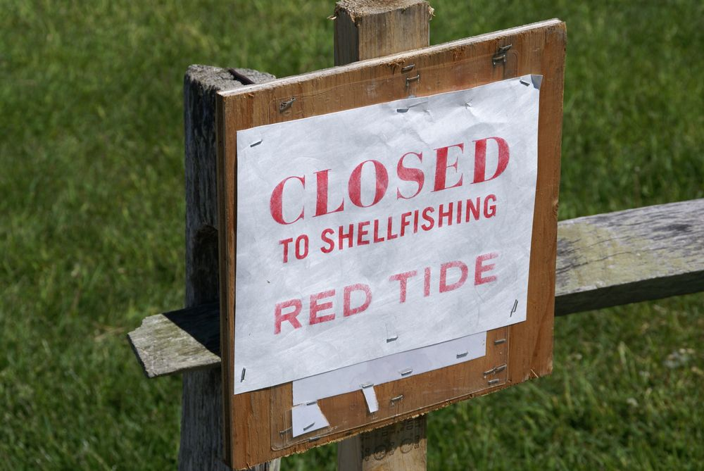 At times, red tides are bad enough to shut down the shellfish harvest