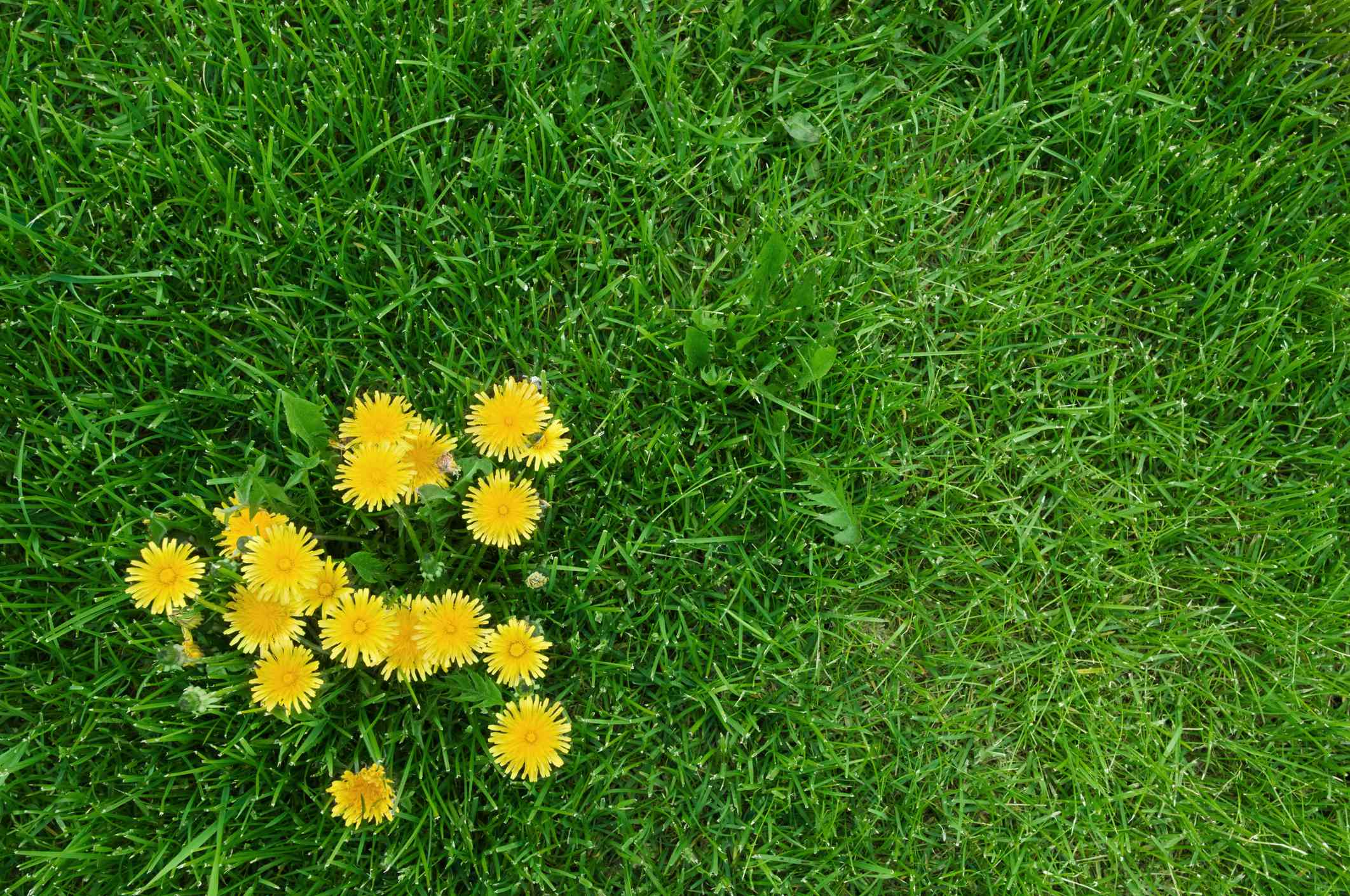 A cluster of dandelions growing in grass