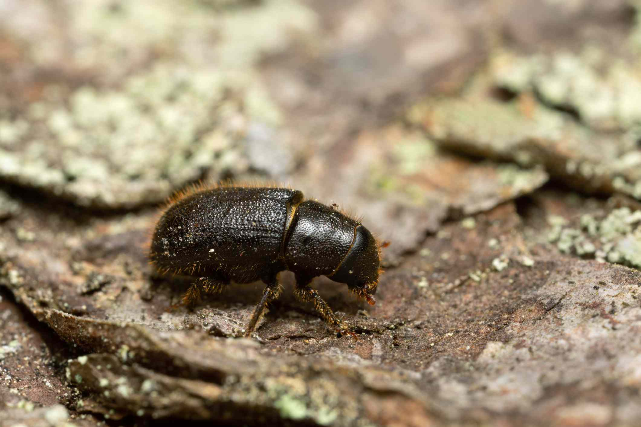 A magnified photo of a small, black beetle on tree bark