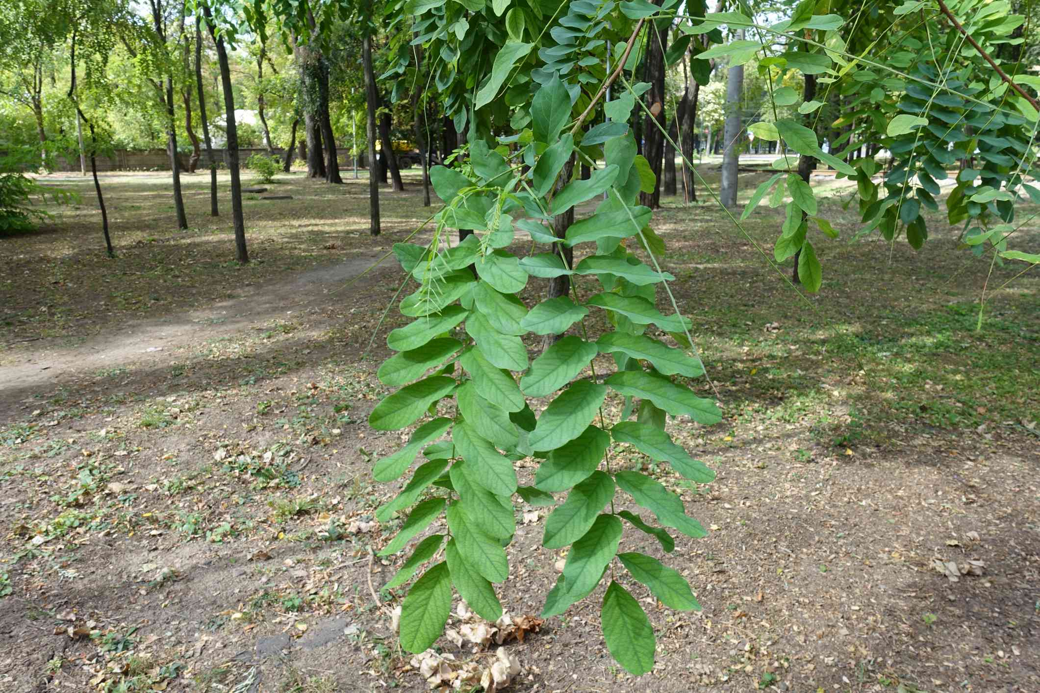 Leaves resembling a feather on a black locust tree.
