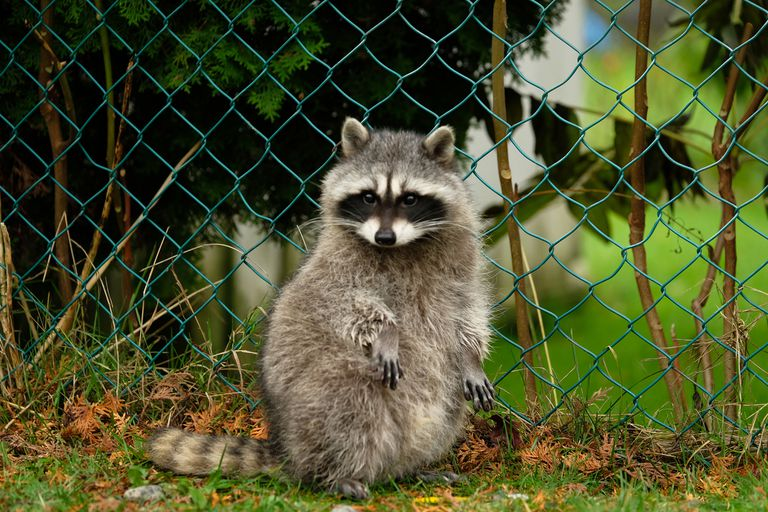 Raccoon in front of a fence