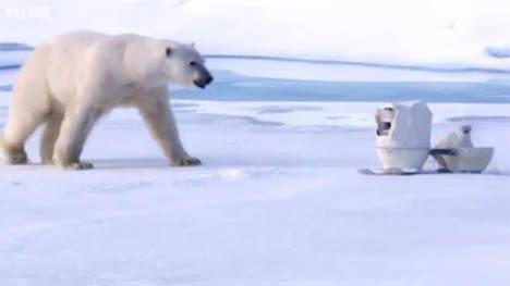 Cámaras ocultas de alta tecnología filman osos polares de cerca
