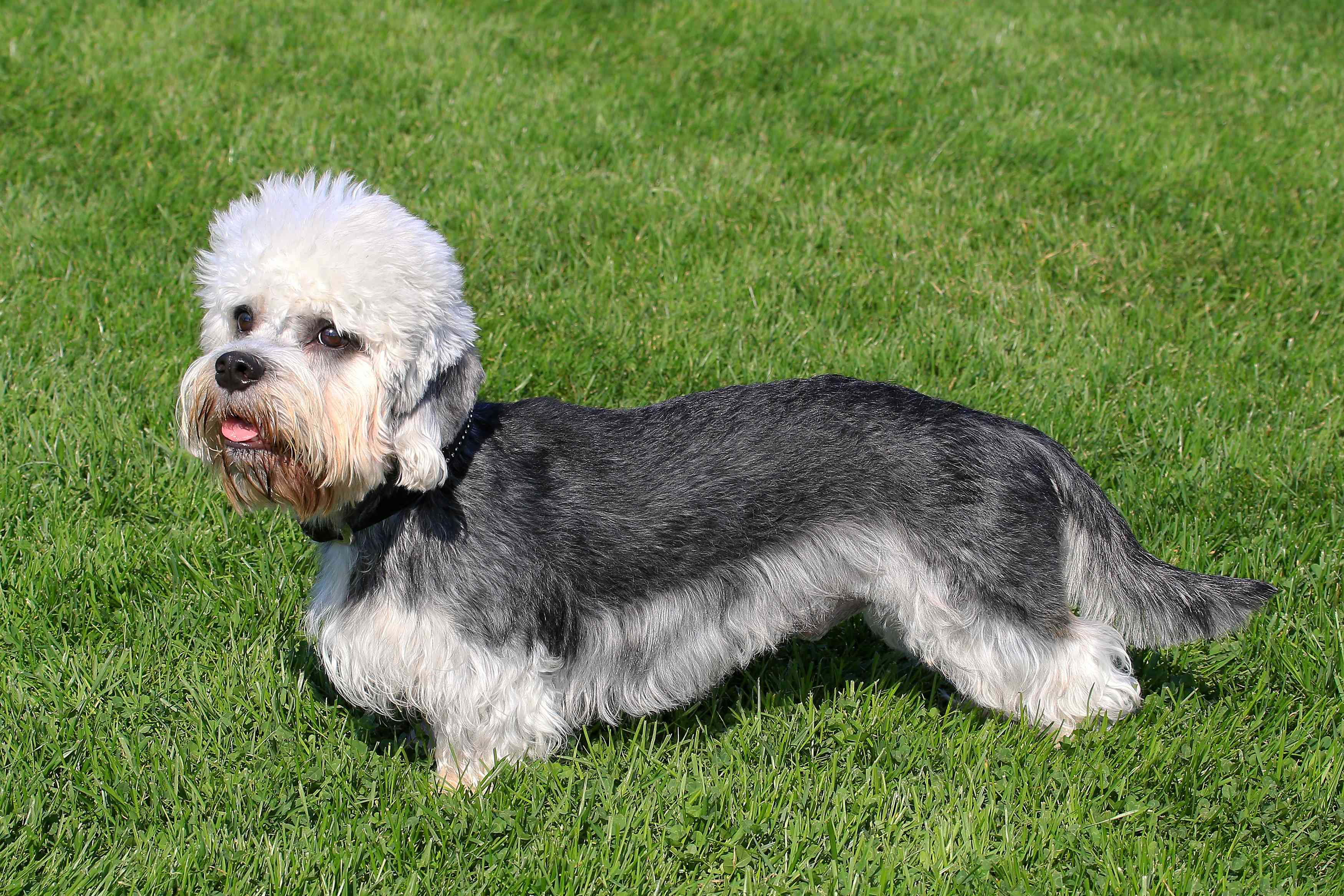 profile of gray and white Dandie Dinmont Terrier on green grass lawn