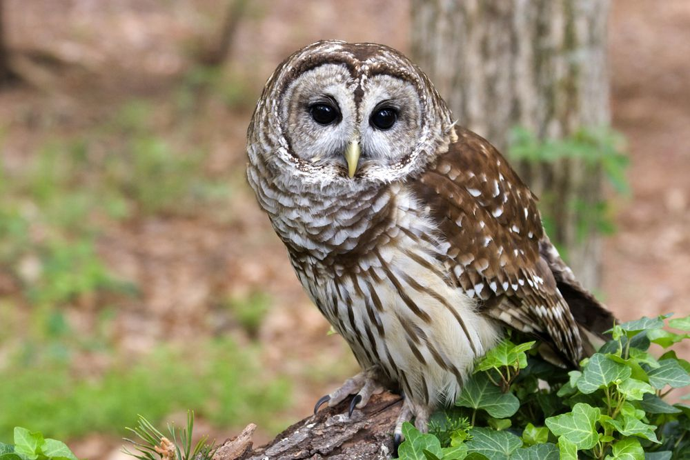 Barred owls have a dinner-oriented call.