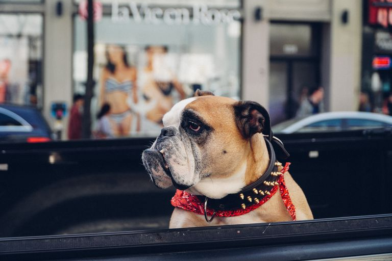 Close-Up Of Dog In Car