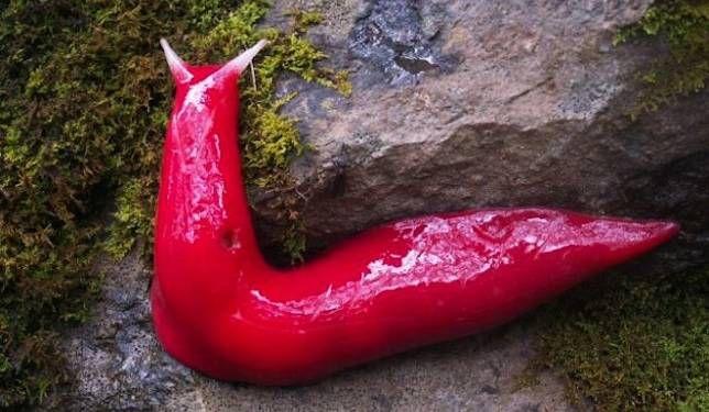 Kaputar pink slug