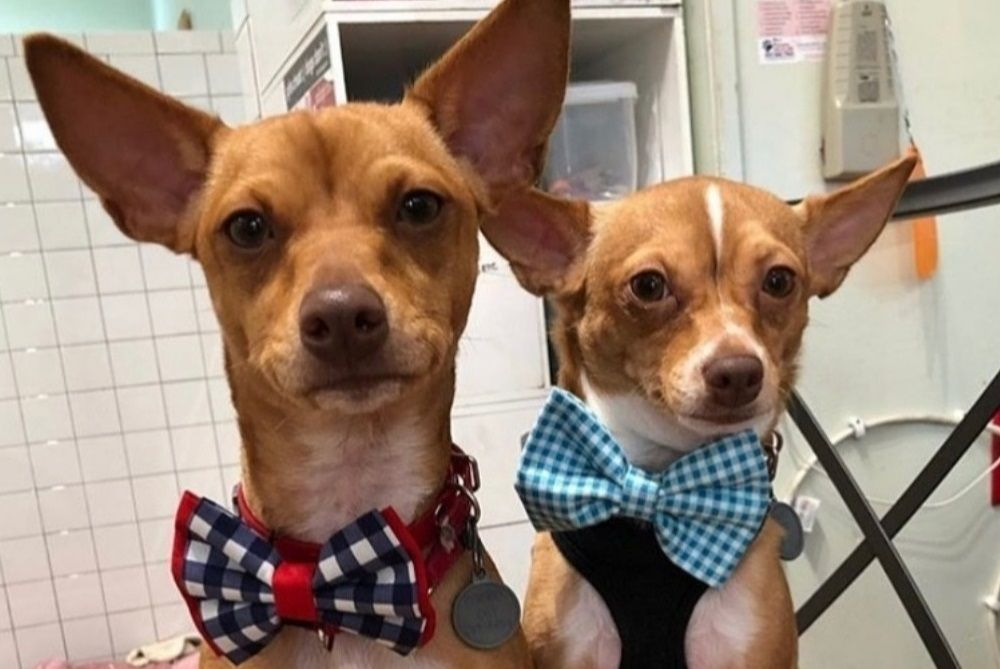 two dogs wearing bow ties