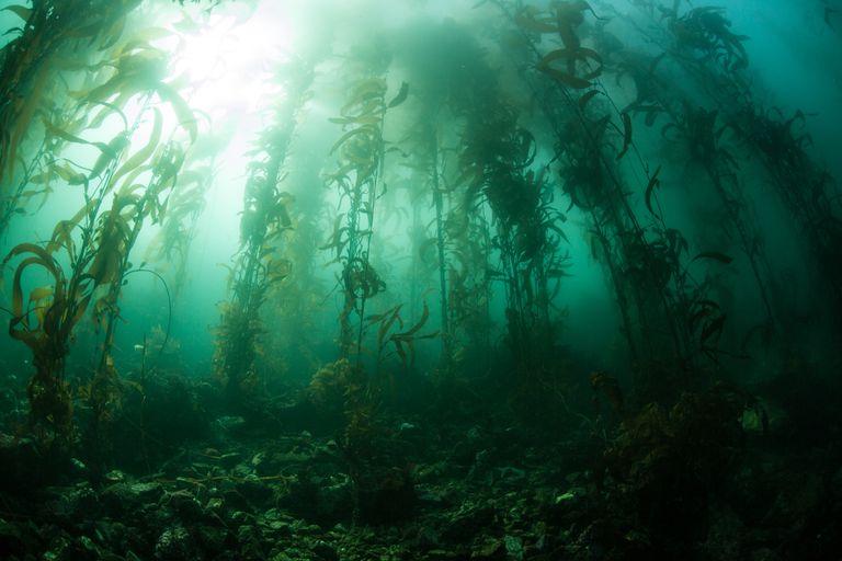Massive underwater forest of seaweed