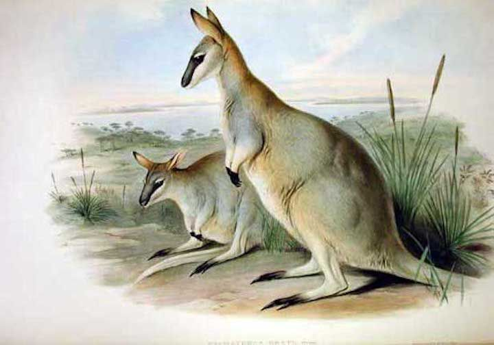 Artistic representation of two Toolache wallabies, one standing, and the other laying down, in a field