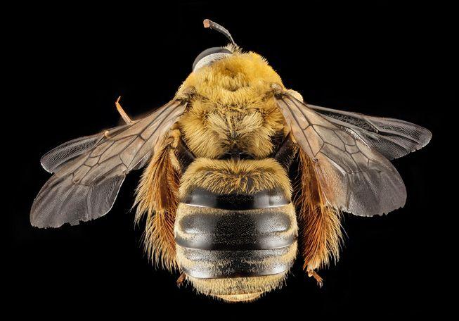 Xenoglossa strenua, or squash bee