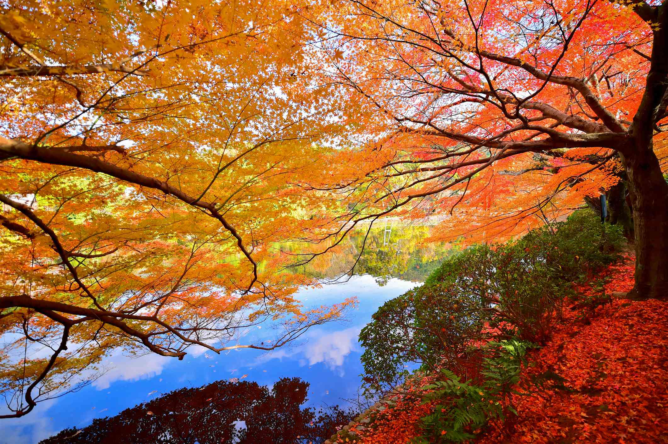 Delicate orange leaves of a tree leaning over a body of water with red flowers and green shrubs below reflected in the water