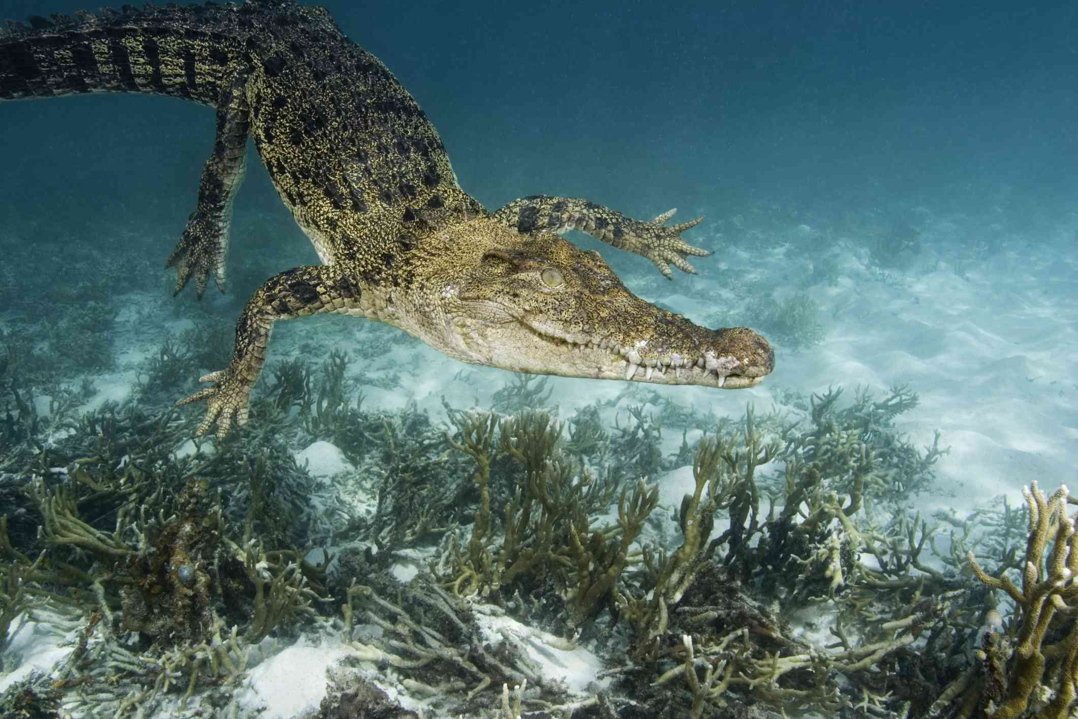 Saltwater crocodile swimming underwater over some coral