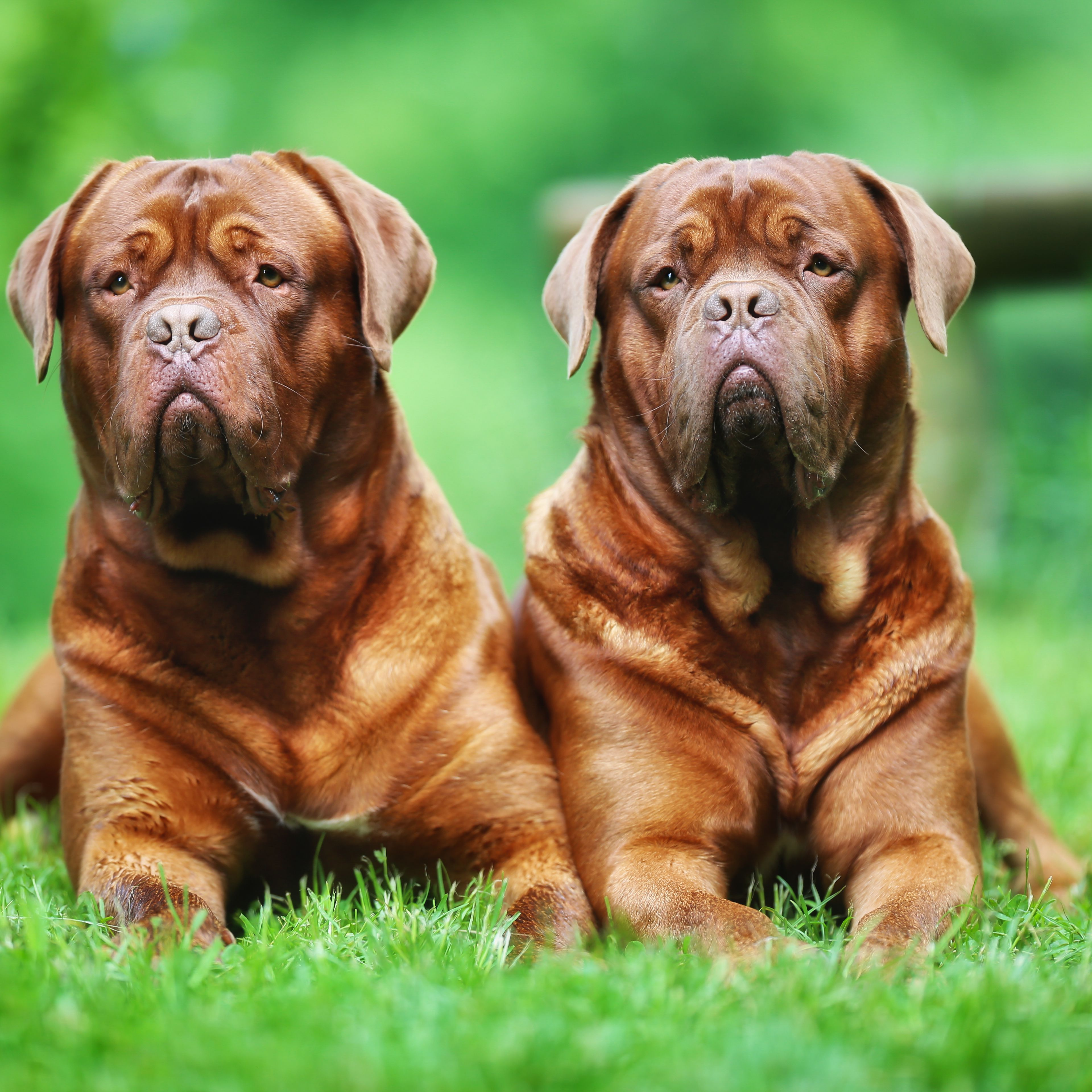 9 Of The World S Largest Dog Breeds
