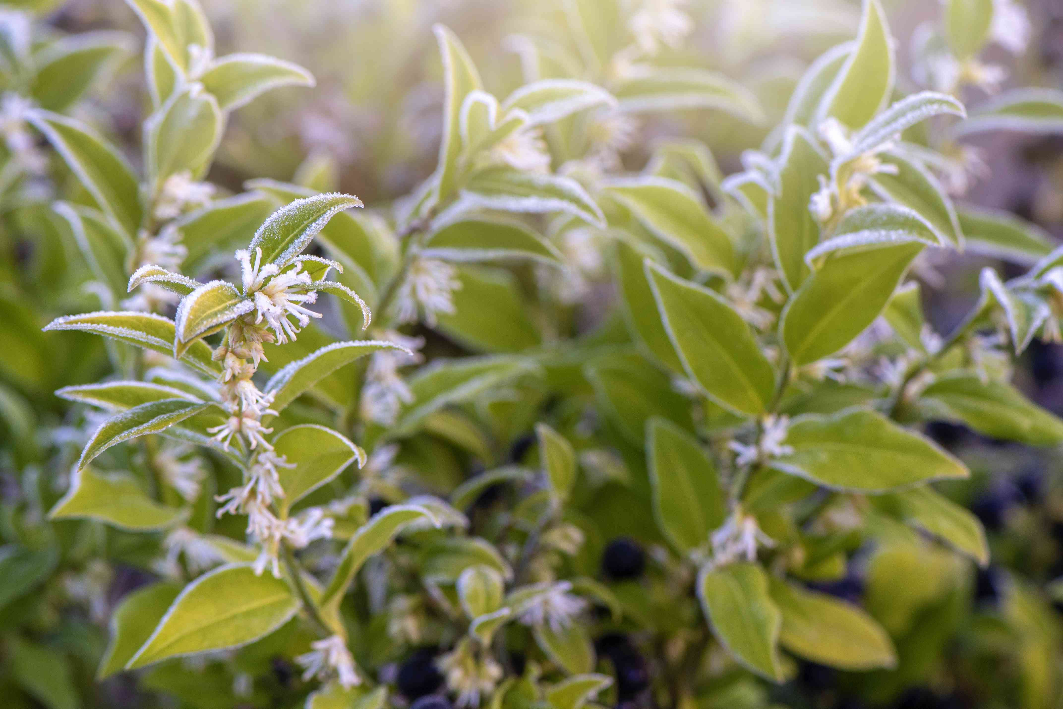 Close-up image of the beautiful winter flowering Sarcococca confusa white flowers