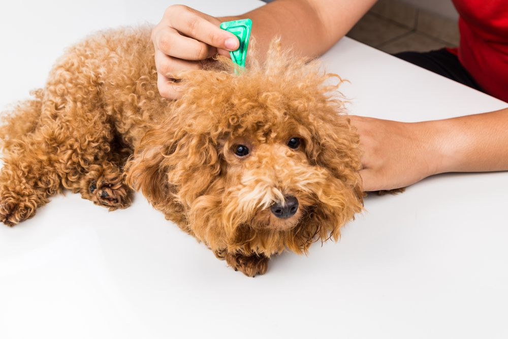 dog getting topical flea and tick treatment