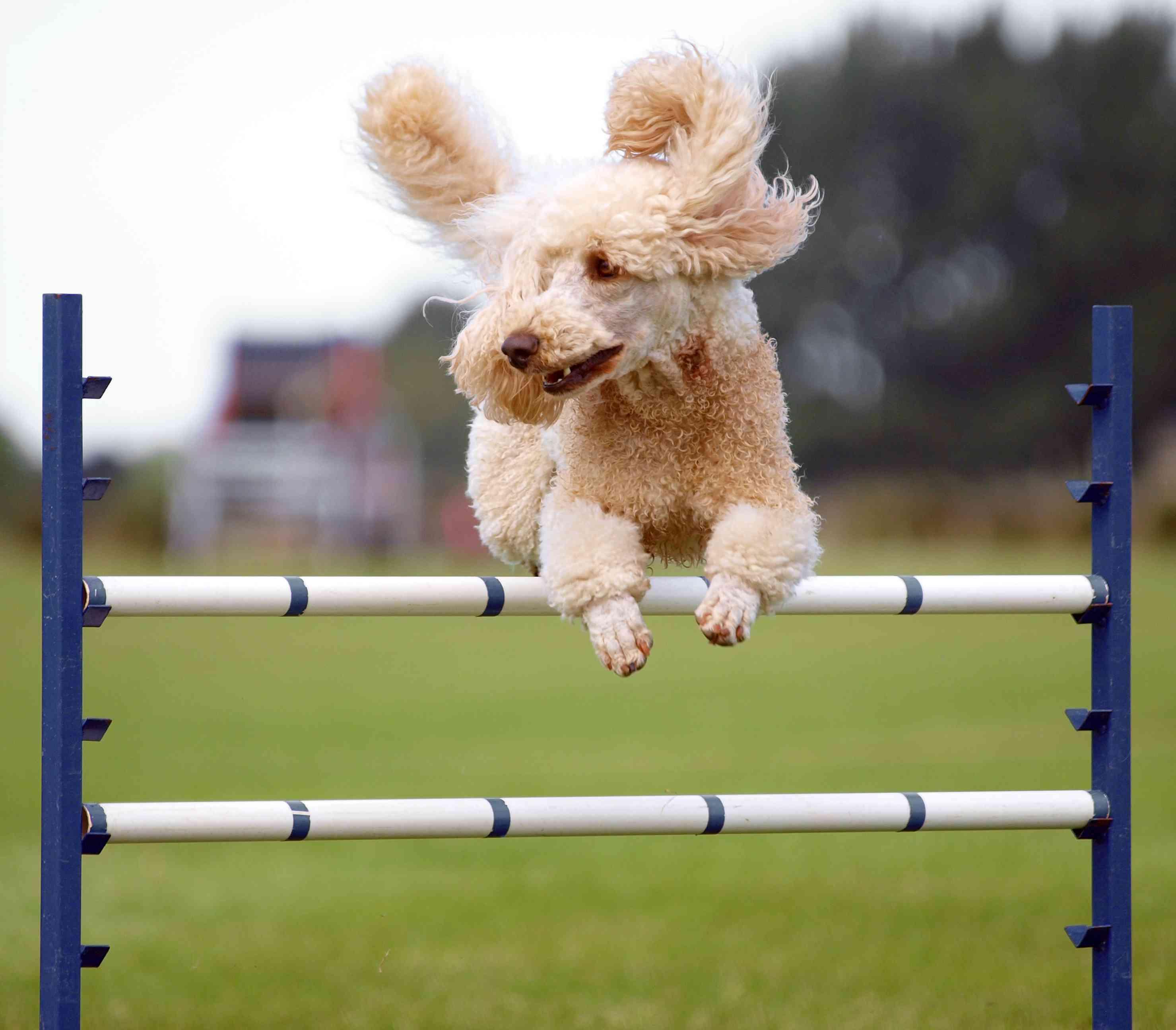 poodle doing agility jump