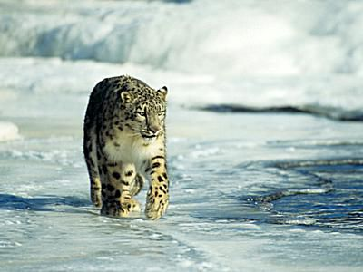 a large light colored wild cat with irregular dark spots, a Snow leopard walking across icy snow covered ground