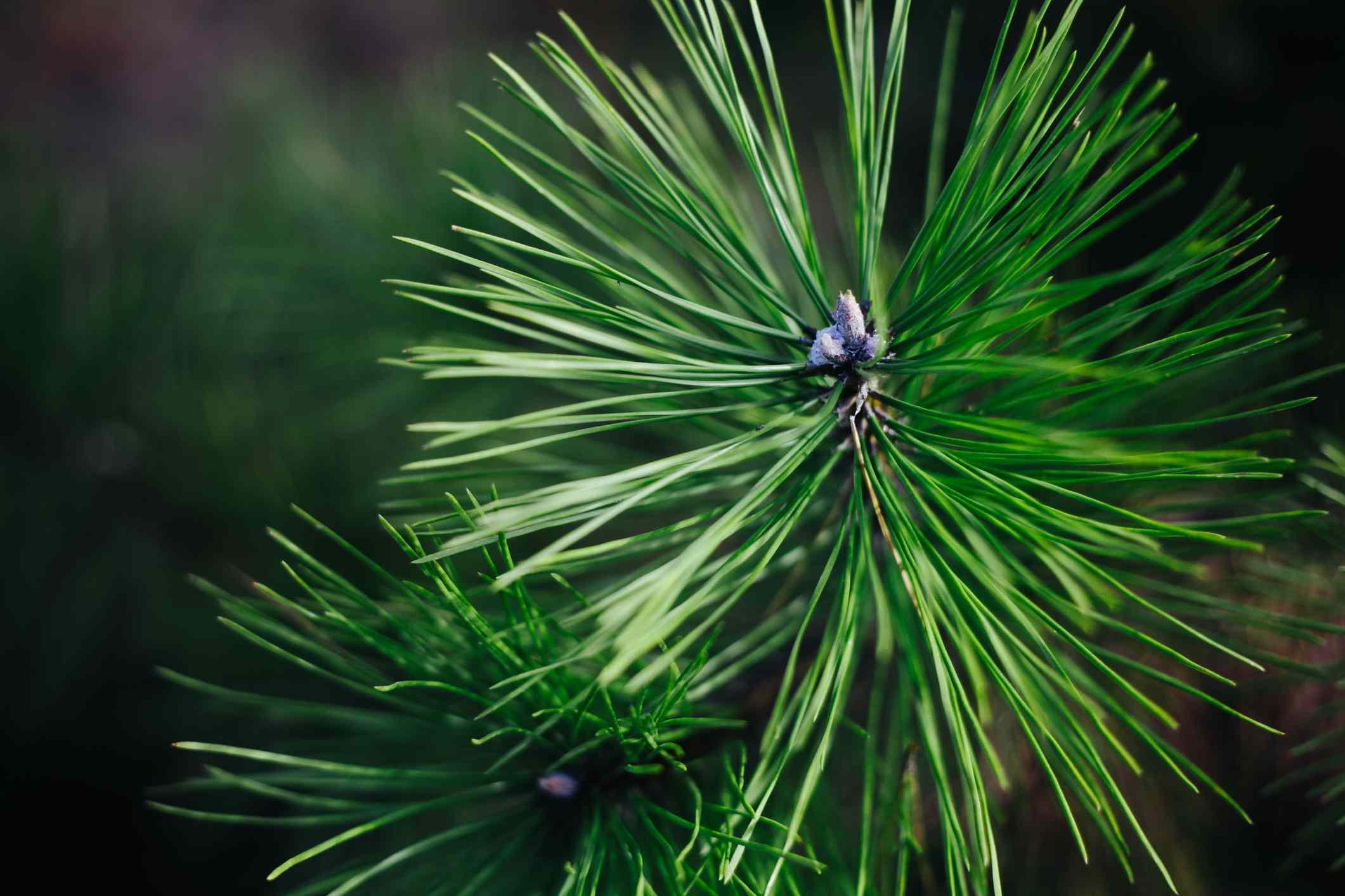Detailed shot of green Pine needles.