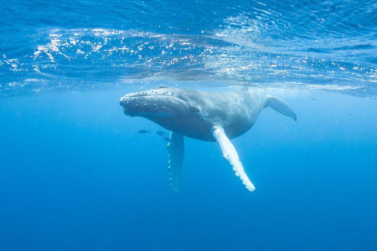 Caribbean Sea humpbacks