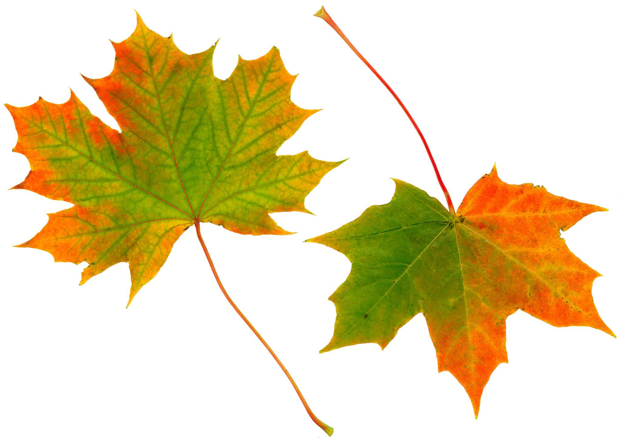 Two maple leaves changing colour from green to red.