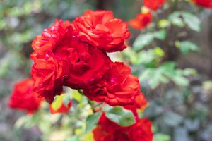brilliant red roses shown in foreground with blurred background of bushes outside