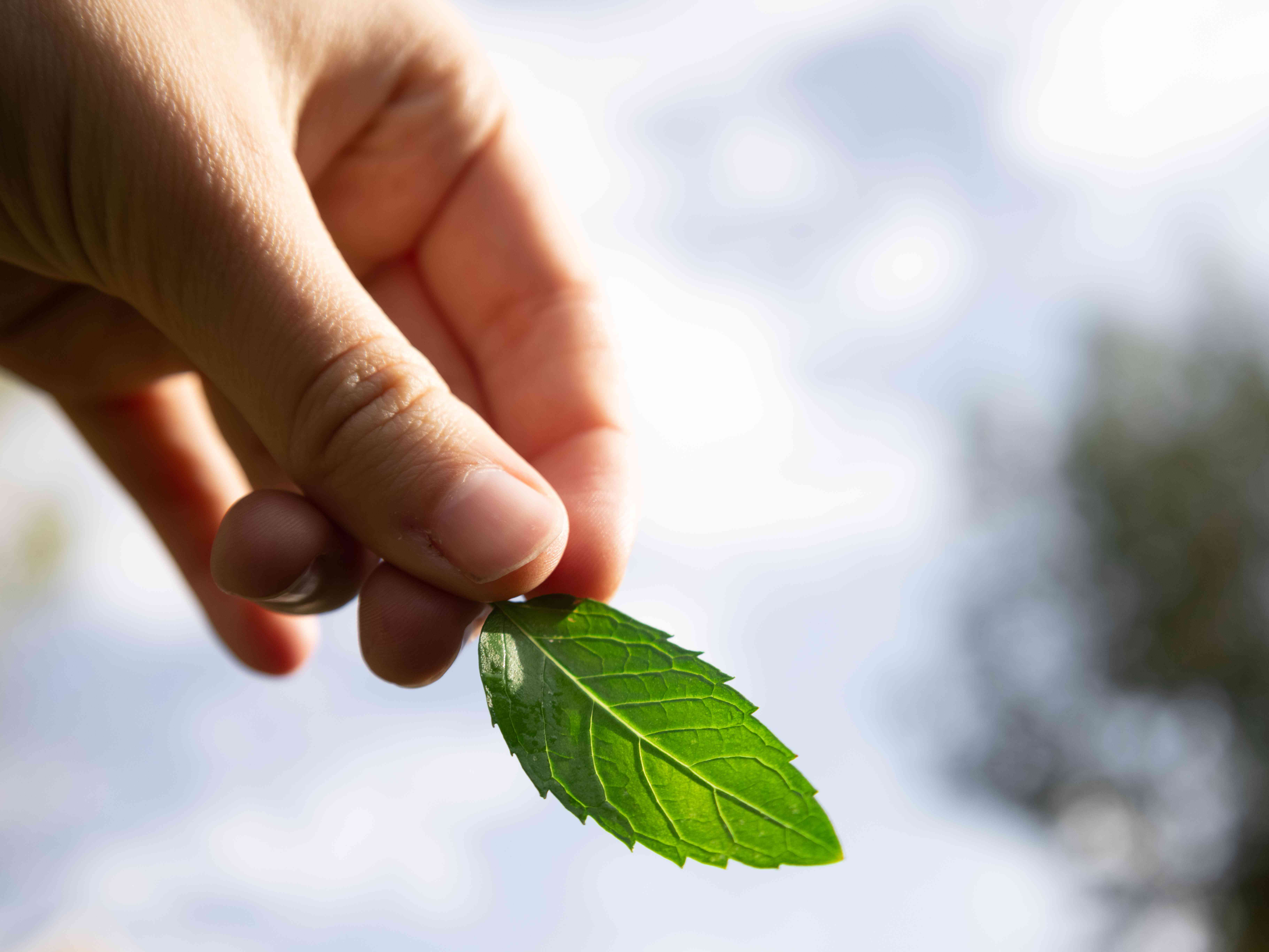 hand holds single sprig of mint leaf against blue cloudy sky