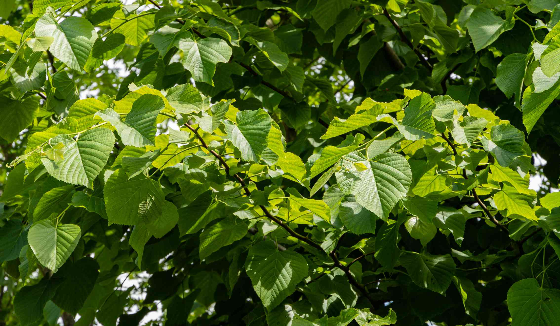 Bright green leaves on a Basswood Tree.