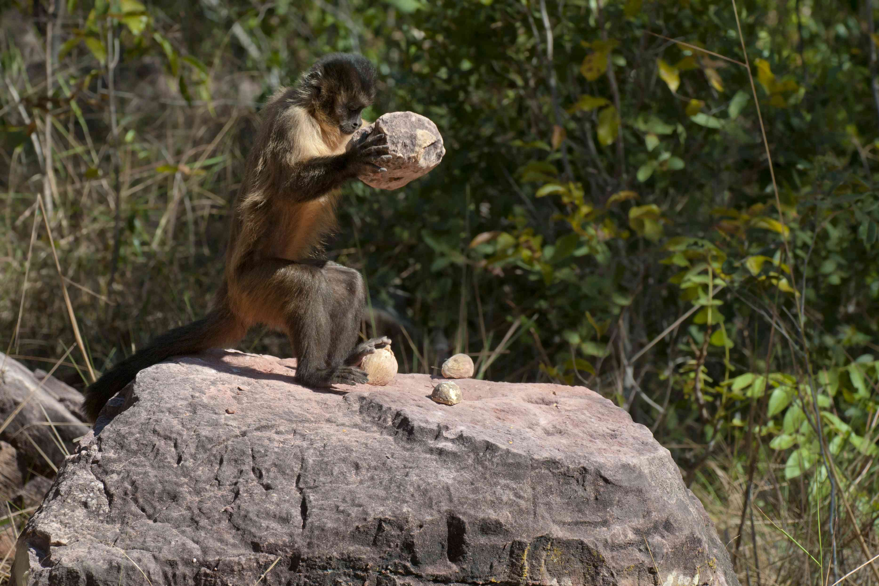 Bearded capuchin monkey using rocks to break open palm nuts