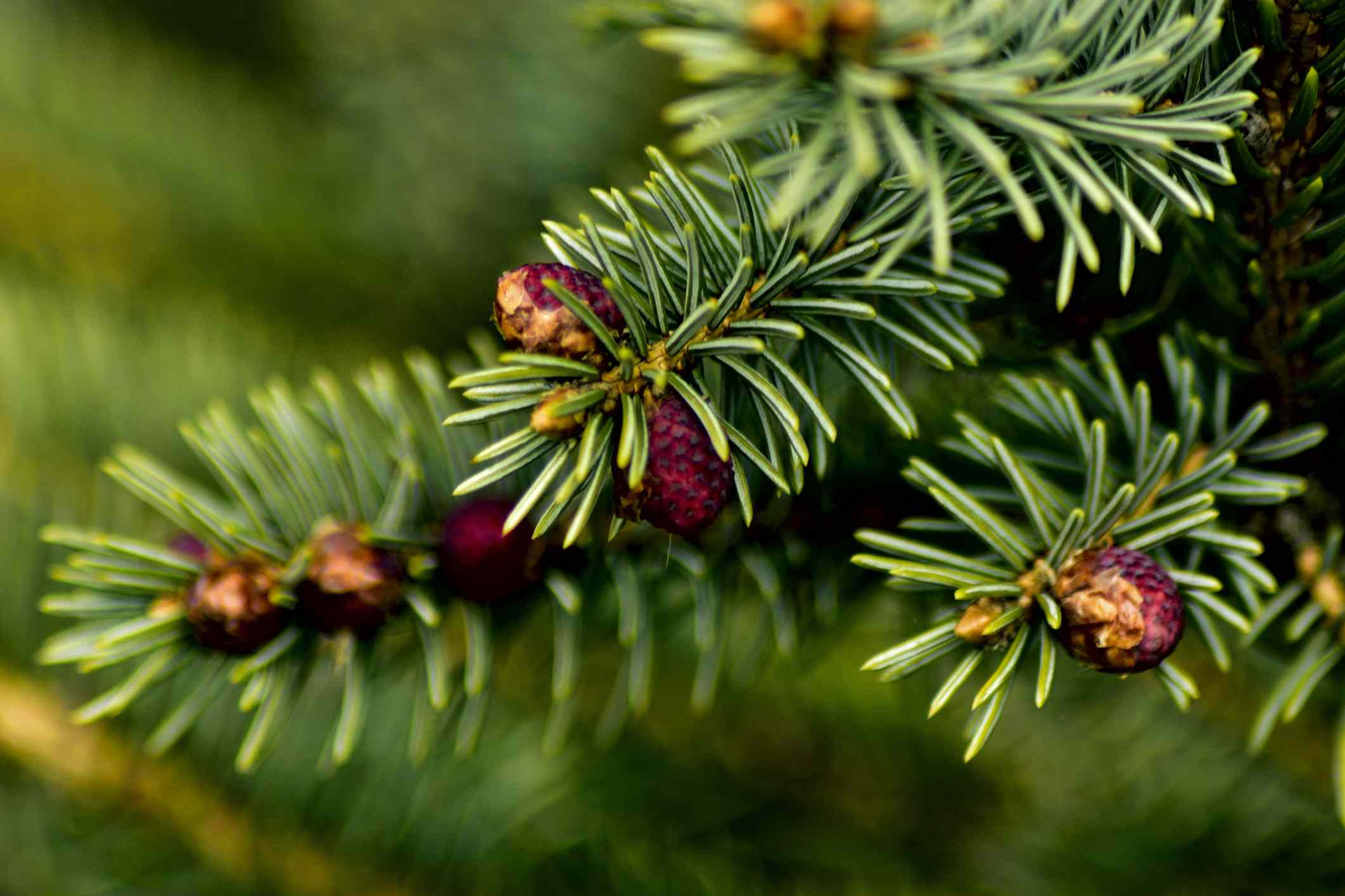 Detailed shot of blunt needles of Red Fir tree in the spring.