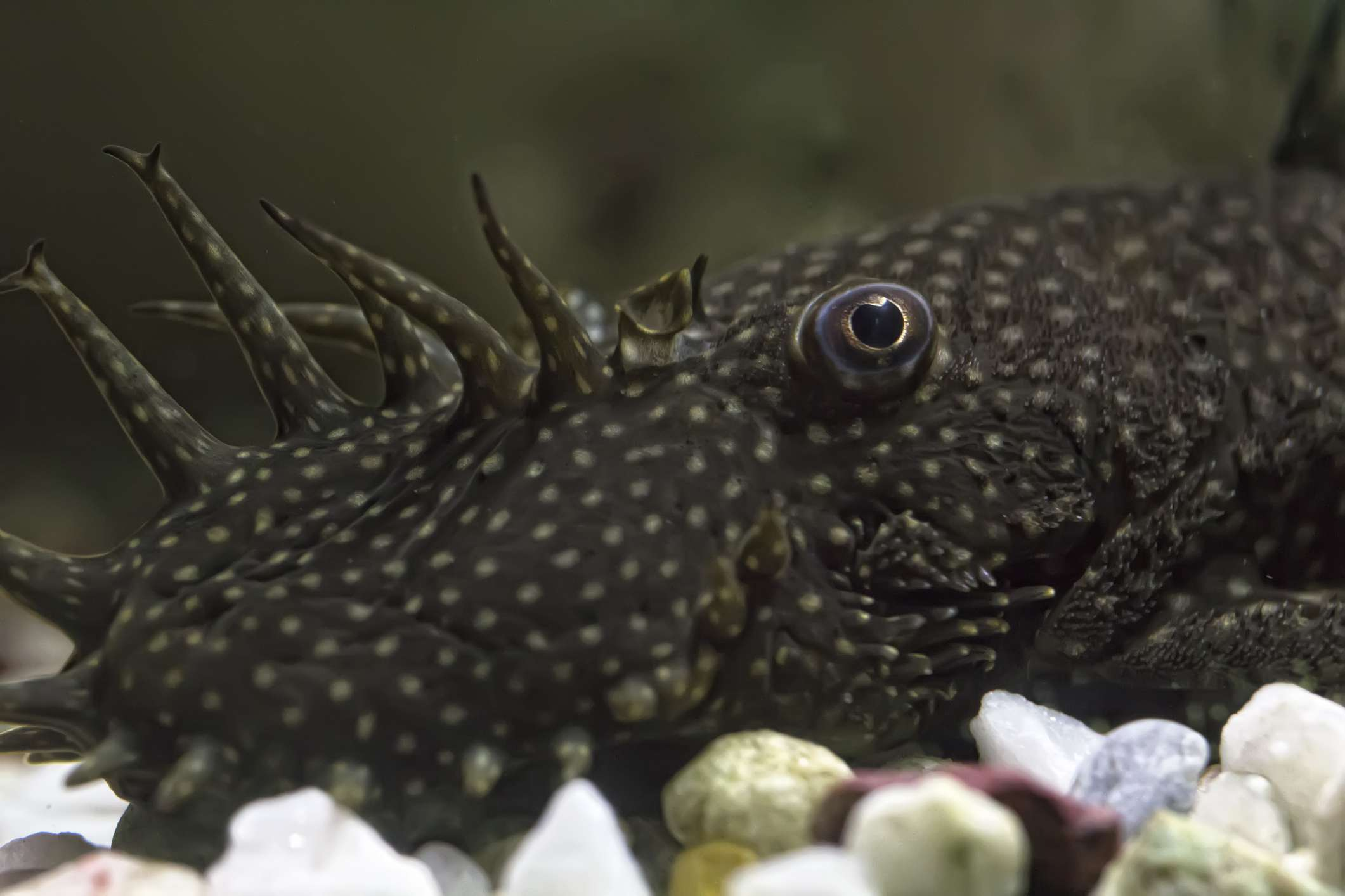 A close-up view of a bristlenose catfish's head.