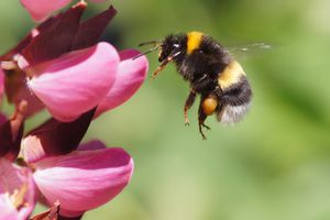 Bumblebee arriving at a pink flower