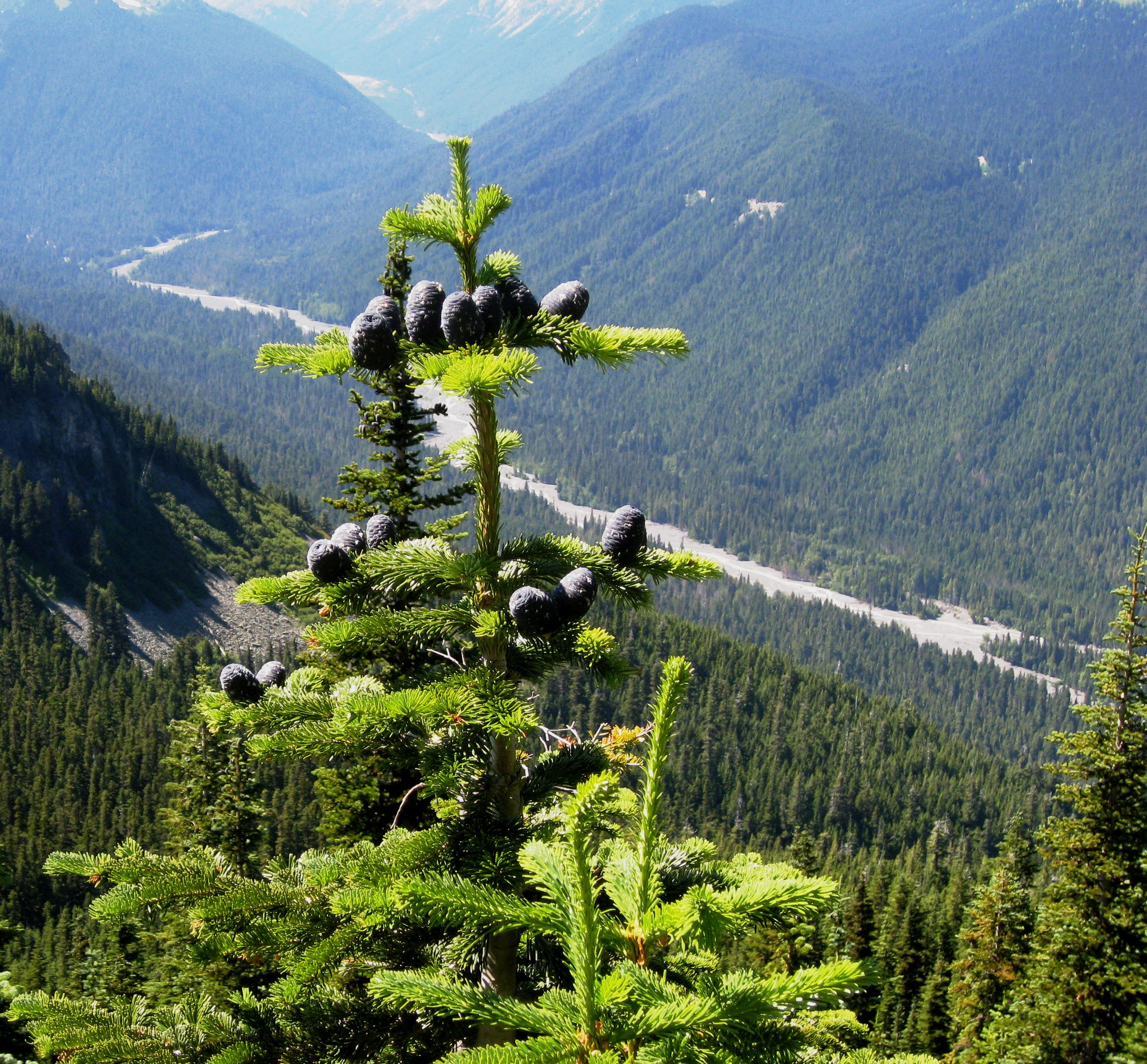 Pacific silver fir tree on a mountain.