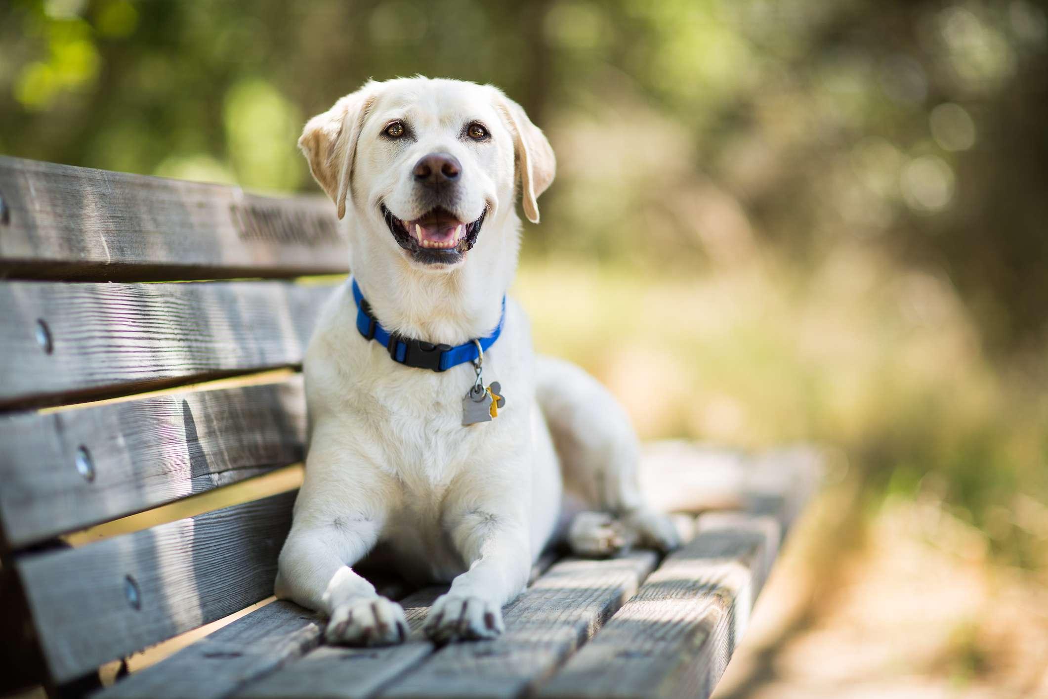 yellow labrador retriever dog smiles on bench outdoors