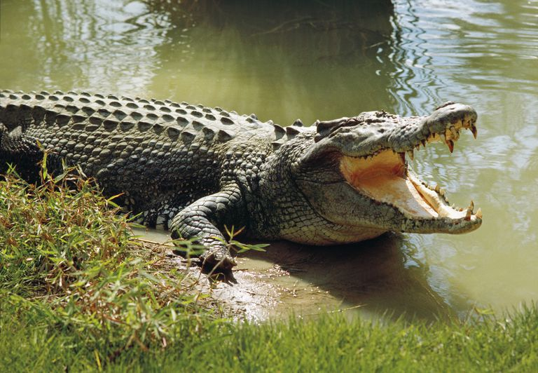 Saltwater crocodile with mouth open