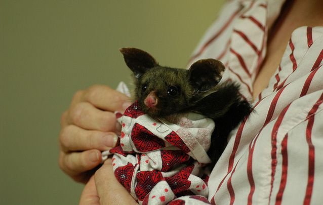 Yellow-bellied glider wrapped in a blanket
