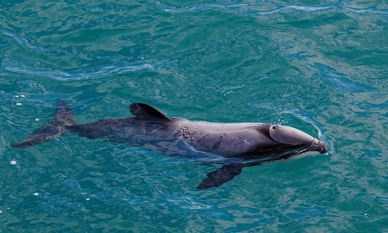 Hectors dolphin, endangered dolphin, New Zealand